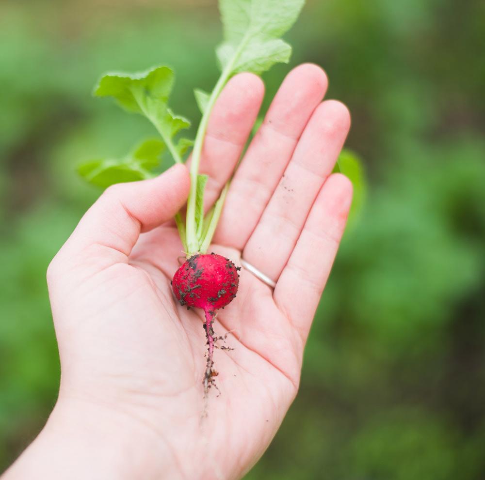 Photo d'un radis cultivé dans un potager tenu dans une main