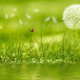 pelouse-fleur-pissenlit